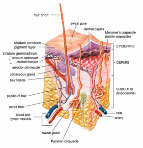 Layers of the skin and Hair Folicle