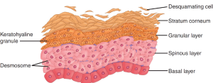 Dermal layers of the skin